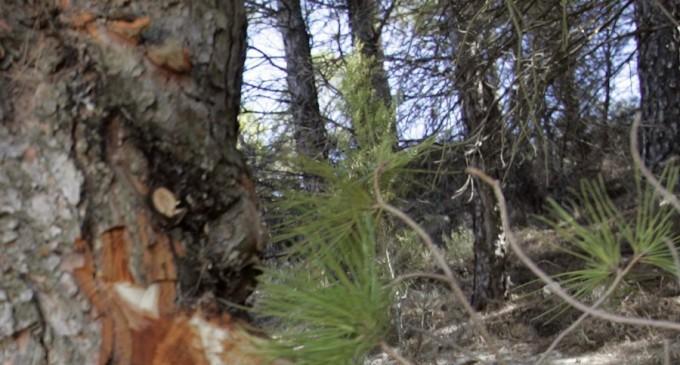 Limpiar el bosque para prevenir incendios