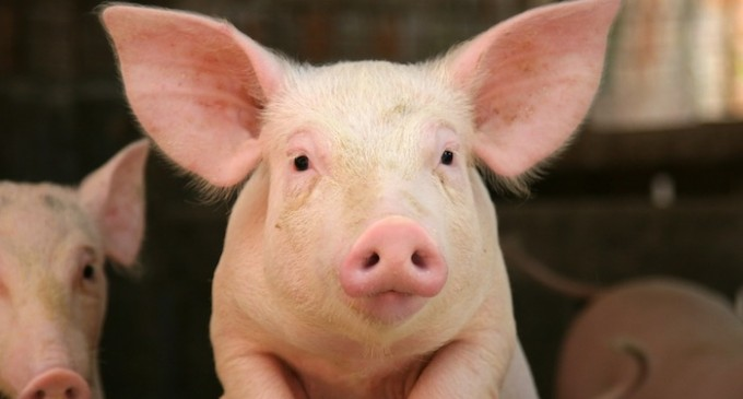 El cerdo, protagonista de unas jornadas gastronómicas en Cuéllar