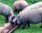 Cinco explotaciones ganaderas segovianas optan a los 'Oscar' del sector porcino